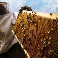 Czym matki pszczele zajmują się w ulu i jaki mają wkład w działanie pasieki